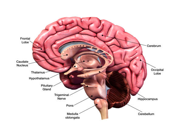 Sagittal Section of Human Brain with Labeled Parts 3D Computer Graphic Image with labeled side view of human brain parts on white background. brain stem stock pictures, royalty-free photos & images