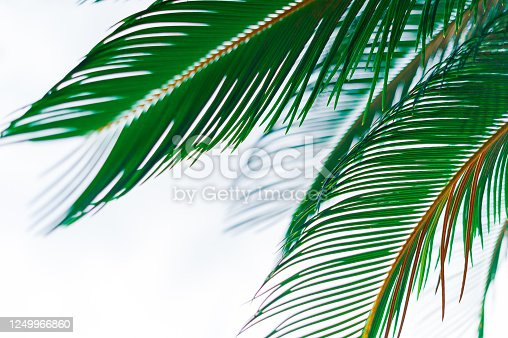 istock Sago cycas leaves 1249966860