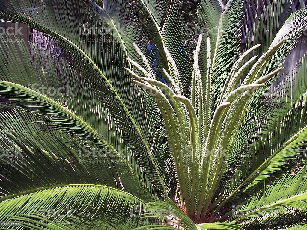 Sago Palm 4 - Landscape stock photo