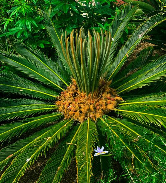 Sago Palm stock photo