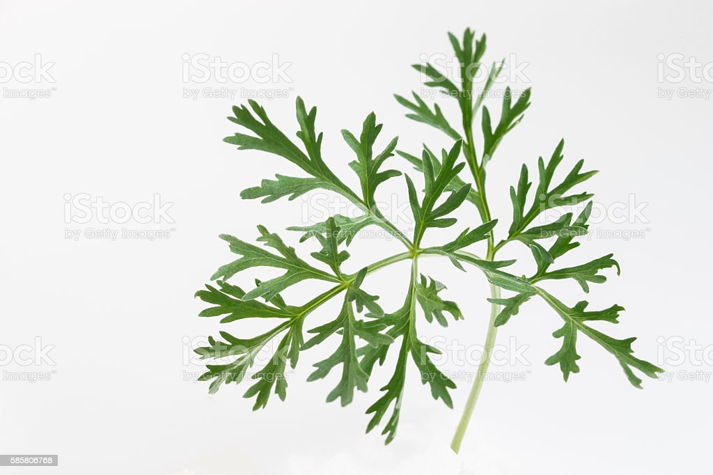 sagSagebrush or absinthe twig stock photo