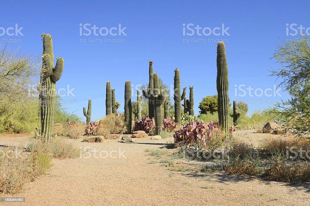 Saguaro And Prickly Pear Cactus Carnegiea gigantea Opuntia violacea stock photo