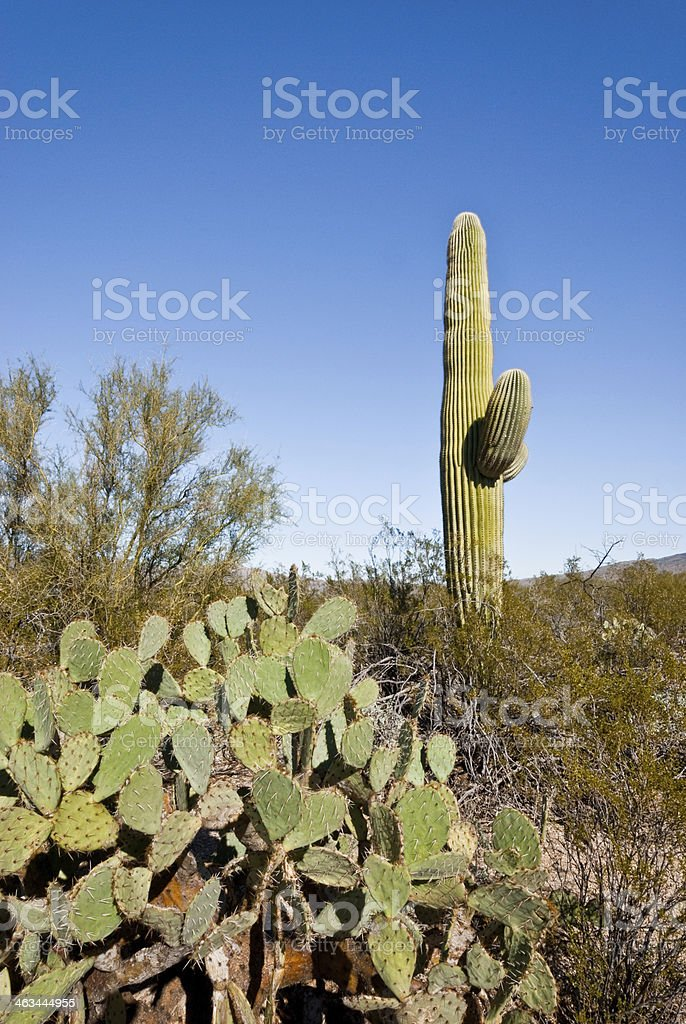 Saguaro and Prickly Pear Cactus royalty-free stock photo