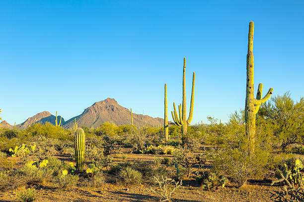 Saguaro and Tucson Mountains under Brilliant, Clear Blue Sky stock photo