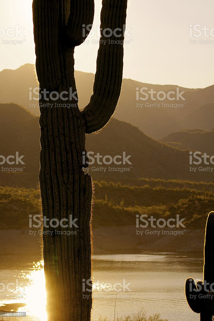 Saguaro at Sunrise royalty-free stock photo