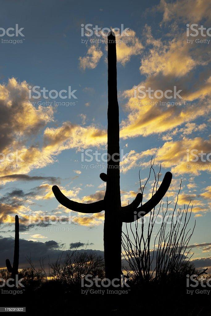 Saguaro at Sunset royalty-free stock photo