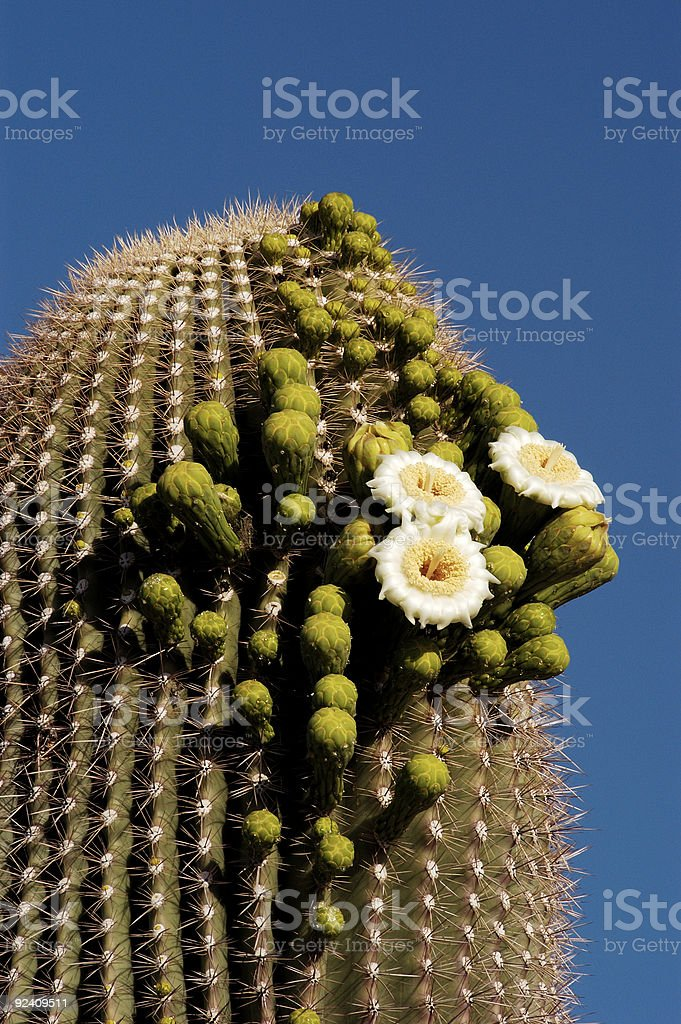 Saguaro Blossoms 4 stock photo