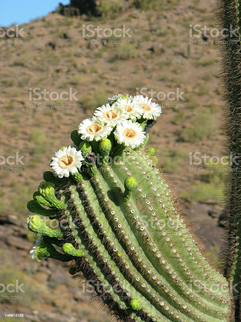 Saguaro Blossoms royalty-free stock photo