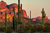 Saguaro Cacti and Red Rocks - Desert scenic view at sunset.