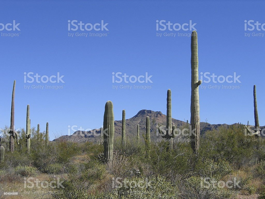 Saguaro cacti royalty-free stock photo