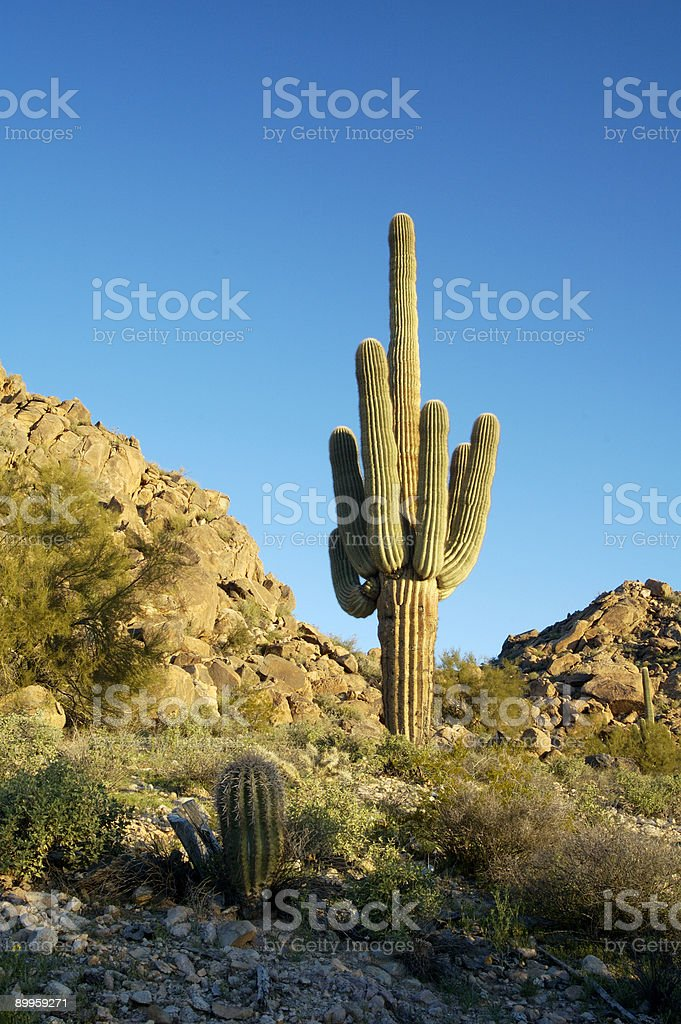 Saguaro Cactus 1 royalty-free stock photo