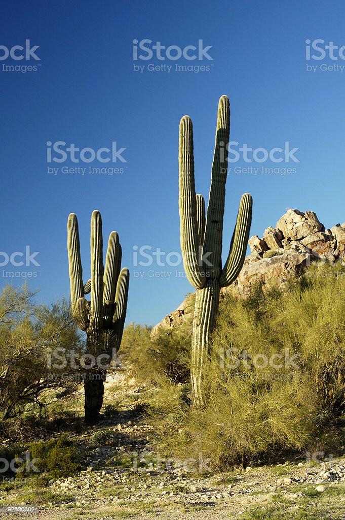 Saguaro Cactus 3 royalty-free stock photo