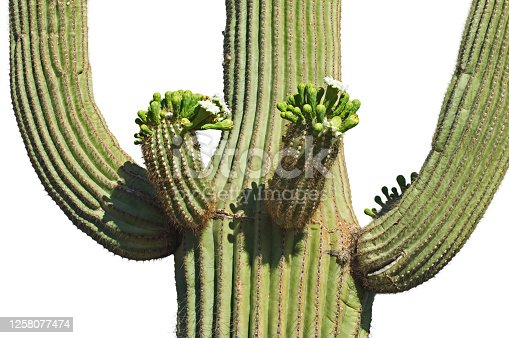Saguaro cactus (Carnegiea gigantea / Cereus giganteus) blooming, showing buds and white flowers against white background