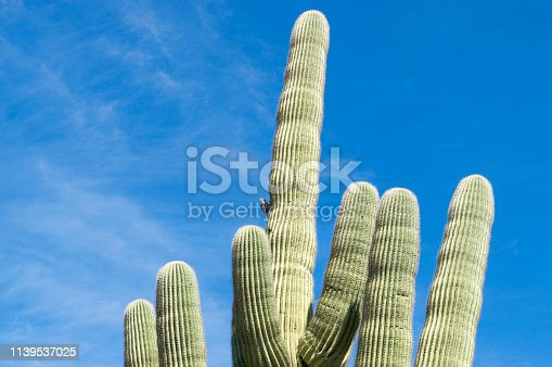 This is a saguaro cactus growing in the Arizona desert.  A cactus wren is perched on the cactus and a bright blue sky is in the background.