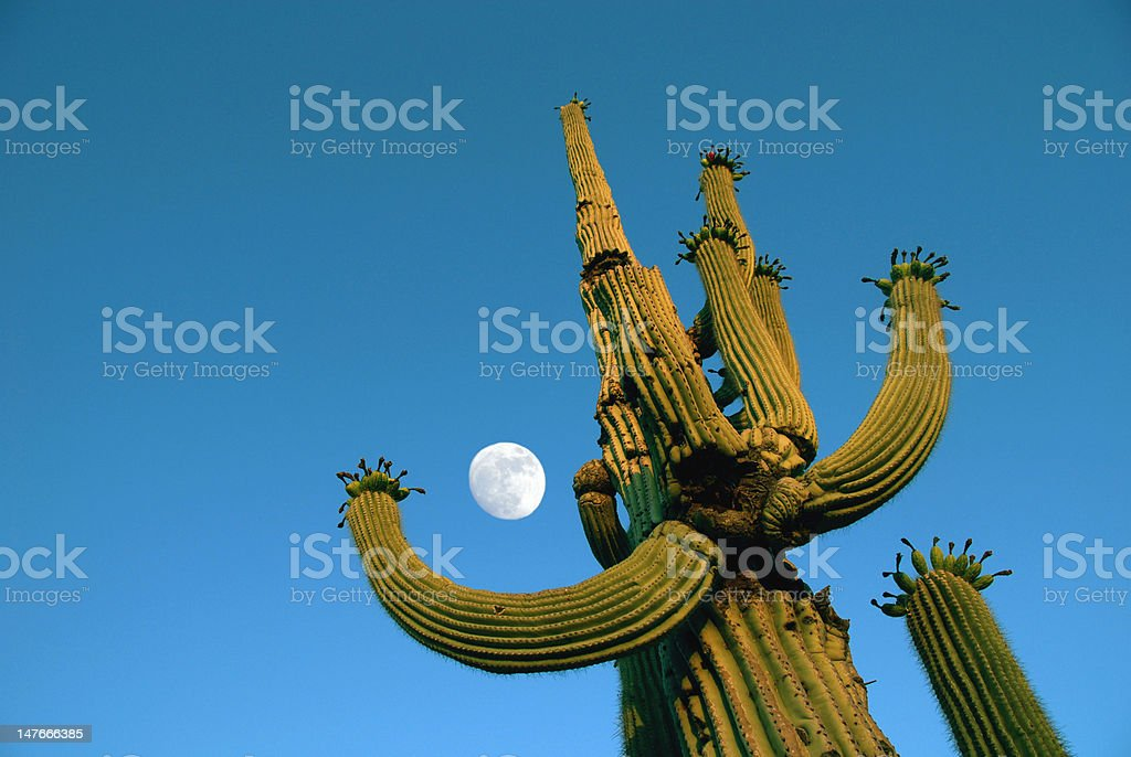Saguaro Cactus and Moon royalty-free stock photo
