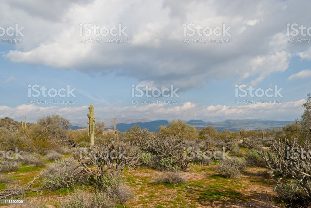 Saguaro Cactus and Staghorn Cholla stock photo