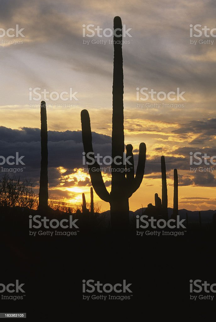 Saguaro Cactus and Sunset, Arizona. royalty-free stock photo