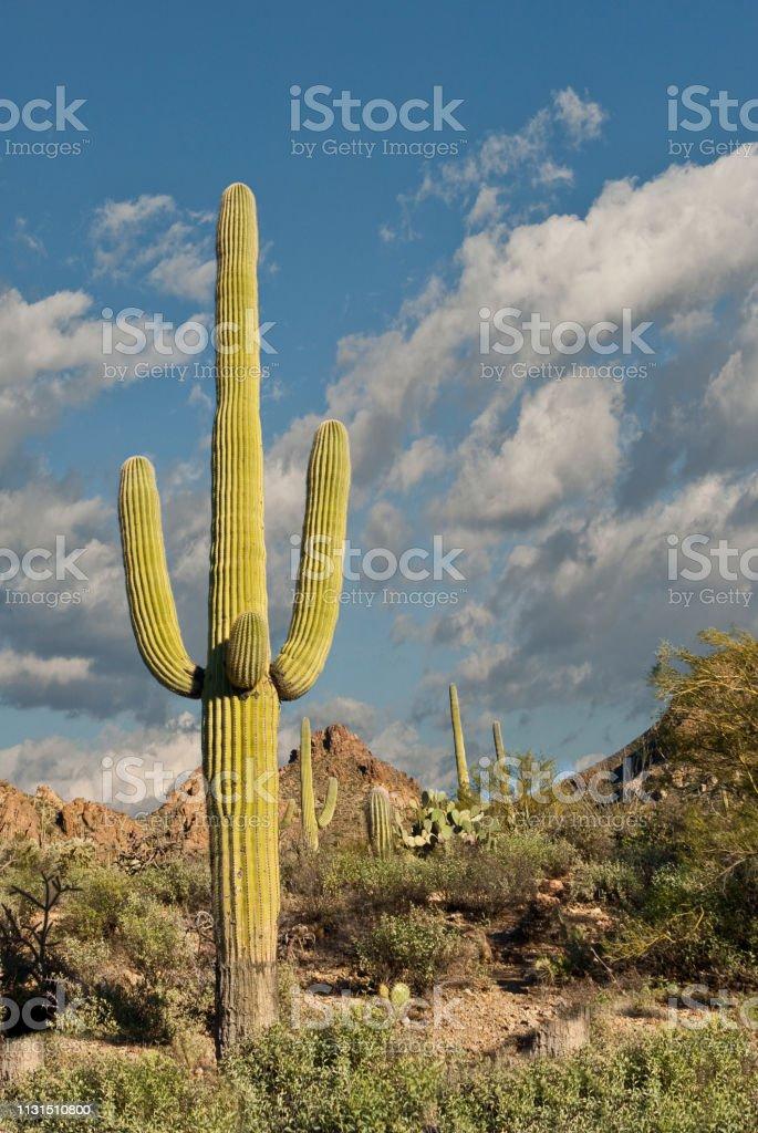 Saguaro Cactus at Gates Pass stock photo