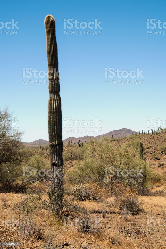 Saguaro Cactus at Phoenix Sonoran Preserve stock photo