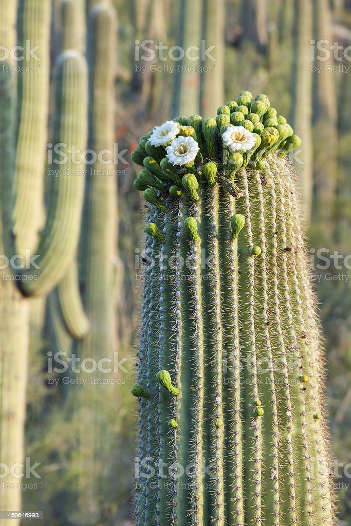 Saguaro Cactus Bloom royalty-free stock photo