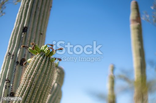 Saguaro Cactus Fruit with Flowers, Blue Sky in the Sonoran Desert