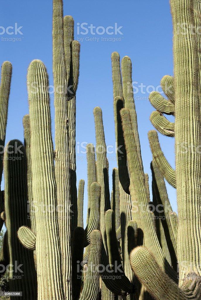 Saguaro Cactus Cluster royalty-free stock photo