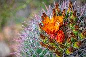Saguaro cactus flower blossom