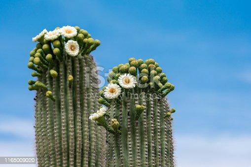 Saguaro Cactus Flower flower buds in Southwestern Sonoran Desert