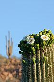 Saguaro Cactus (Carnegiea gigantea) blooming flowers