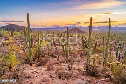 Stock photograph of a saguaro cactus forest in Saguaro National Park, Arizona, USA during sunset.