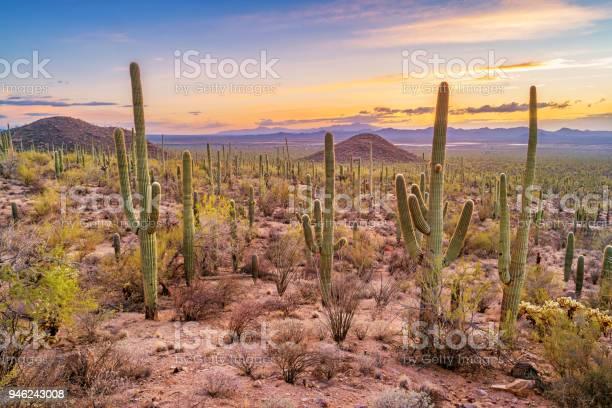 Saguaro cactus forest in saguaro national park arizona picture id946243008?b=1&k=6&m=946243008&s=612x612&h=swp u szibyz7nulorbckougcjvs5uzbun0mhsafh0i=