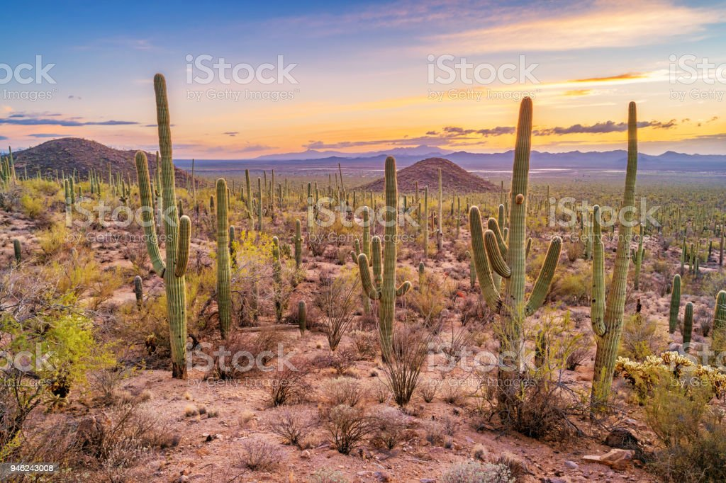 Saguaro cactus forest in Saguaro National Park Arizona stock photo