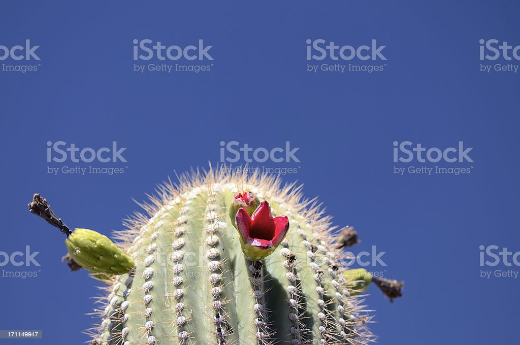 Saguaro Cactus Fruit Carnegiea gigantea stock photo