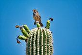 Saguaro Cactus Fruit with Cactus Wren in Sonoran Desert with Blue Sky
