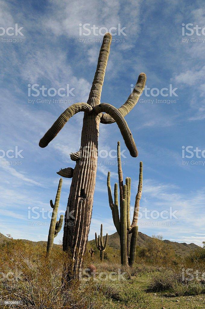 Saguaro Cactus in Arizona Desert and Blue Sky Background Humorous royalty-free stock photo