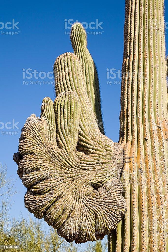 Saguaro Cactus in Arizona royalty-free stock photo