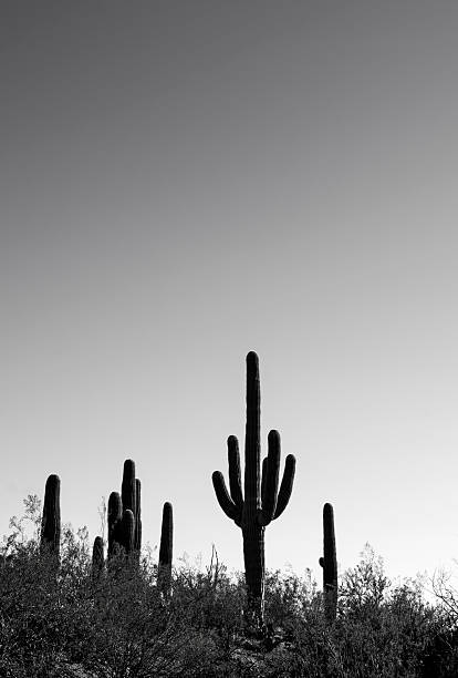 Saguaro Cactus in Black and White stock photo