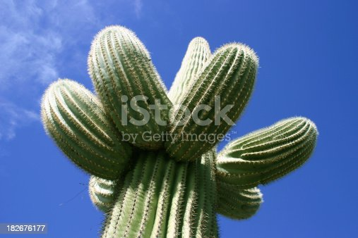 A beautiful lone Saguaro cactus in the Arizona desert with blue skies.