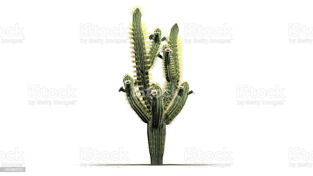 Saguaro cactus isolated on white background stock photo