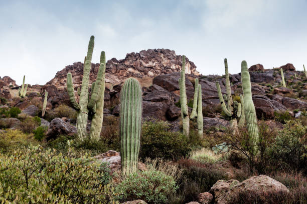 Saguaro cactus landscape with rocky mountains at Tonto National Forest near Phoenix stock photo