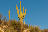 The Saguaro Cactus (Carnegiea Gigantea) is one of the iconic plants of the Sonoran Desert in Southern Arizona and Western Sonora, Mexico. These plants are large cacti that develop branches as they grow and mature. The branches generally bend upward but not always. The fluted trunks and branches of the saguaro are covered with protective spines. In the late spring the plant develops white flowers and red fruit forms in the summer. Saguaros are found only in the Sonoran Desert. To thrive they need water and the correct temperature. At higher elevations, the cold weather and frost can kill the saguaro. The Sonoran Desert experiences monsoon rains during July and August. This is when the saguaro obtains the moisture it needs to survive and thrive. This saguaro was found in Catalina State Park near Tucson, Arizona, USA.