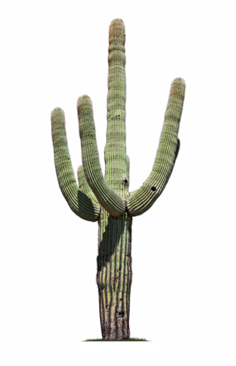 A saguaro cactus isolated on white.To see more isolated trees click on the link below:
