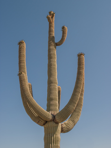 Saguaro cactus against the blue sky in the Tonto National Forest, Arizona, USA.
