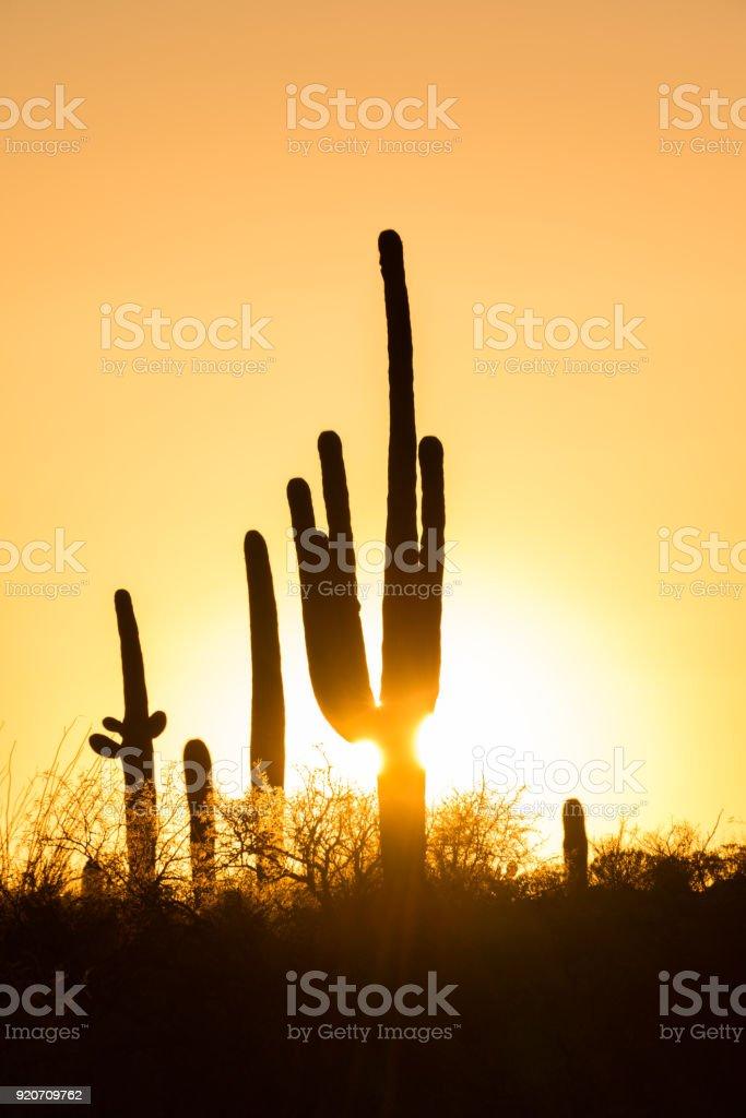 Saguaro Cactus Silhouettes Symbol Of The Southwest Of The United