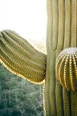 A saguaro cactus stands over Sabino Canyon in Tucson, Arizona. in United States, Arizona, Tucson