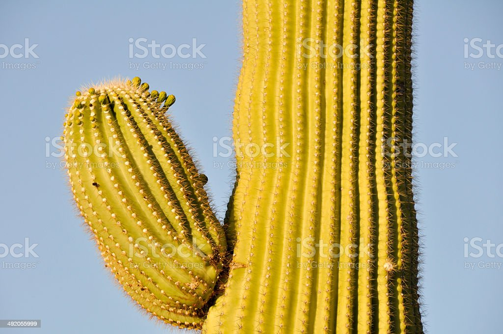Saguaro cactus, Tucson, Arizona royalty-free stock photo