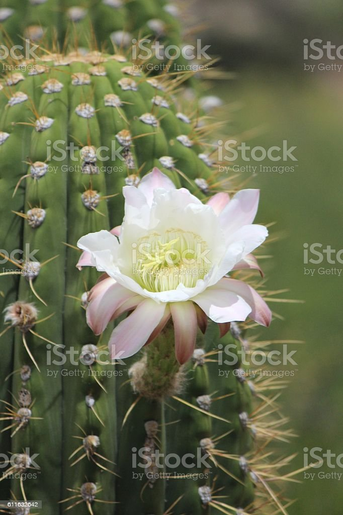 Saguaro Flower stock photo
