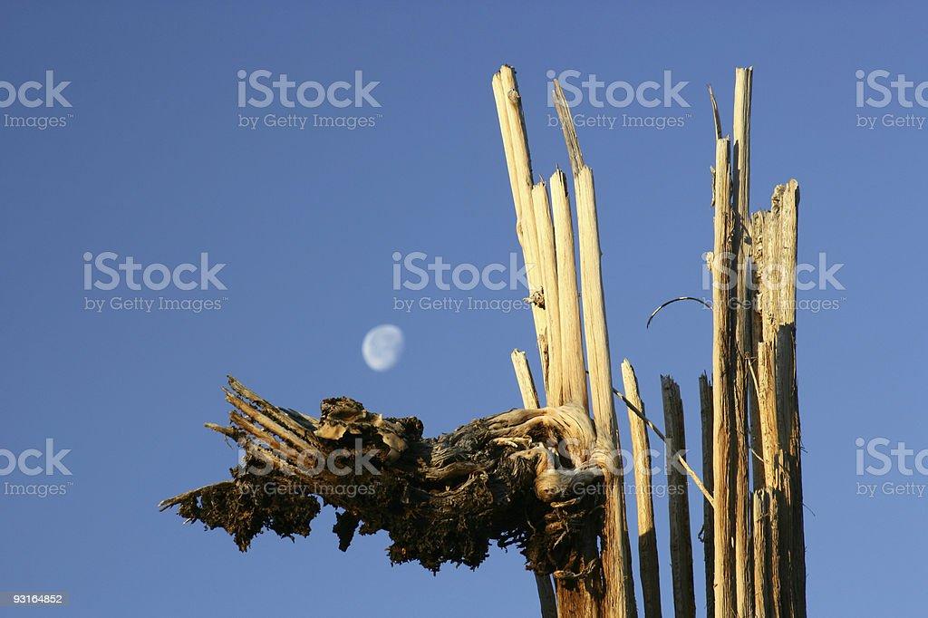Saguaro Husk royalty-free stock photo