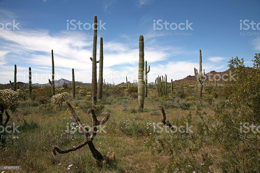 Saguaro Landscape royalty-free stock photo
