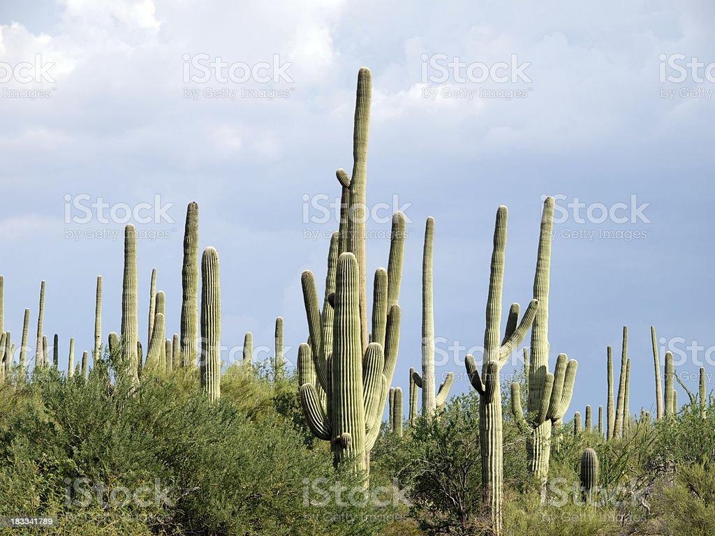Saguaro National Park Cactus royalty-free stock photo